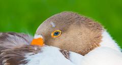 The Eye (agnish.dey) Tags: birding birdwatching bird goose green grassland bokeh florida wildlife naturallight nature naturephotograph eye blue animalplanet nikon d500 duck coth