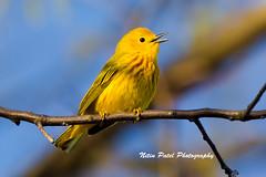 IMG_6220 (nitinpatel2) Tags: bird nature nitinpatel