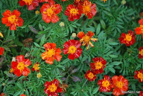 Квіти Чорнобривці InterNetri Ukraine 31