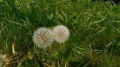 *Doubleheader* (claire artistandpoet Stroke Survivor) Tags: nature seeds double