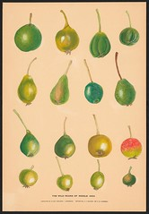 n7_w1150 (BioDivLibrary) Tags: apples drawings pears pictorialworks sovietunion watercolors cornelluniversitylibrary bhl:page=55916798 dc:identifier=httpsbiodiversitylibraryorgpage55916798 cornellcider