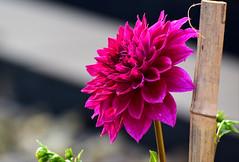 DSC_2715 (SHAN DUTTA) Tags: nikon nikkor 70mm300m fantasticflower