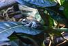 Frog (Adventurer Dustin Holmes) Tags: 2018 wondersofwildlife frog poisonfrog poisondartfrog poisonarrowfrog animal animals dendrobatidae animalia chordata amphibia neobatrachia anura dendrobatoidea amphibian nature