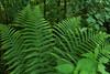Farn (Wellandok) Tags: farn green flora spring forest