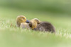 'Springtime Snuggles' (benstaceyphotography) Tags: goslings canada goose baby grass spring sleep wildlife wales fluffy cute birds