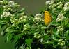 YellowWarblerInFlowers1 (Rich Mayer Photography) Tags: yellow warbler warblers animal animals wild life wildlife nature avian bird birds nikon