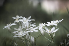 White Stars (ursulamller900) Tags: milchstern mygarden helios442 white fly fliege bokeh