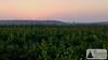 SunriseRun in den Weinbergen: Blick auf die Sonne zwischen Niersteiner Wartturm und Burgruine Schwabsburg (Frank Hamm) Tags: terra deutschland rheinlandpfalz rheinhessen selztal joggen sonnenaufgang sunriserun weinberge
