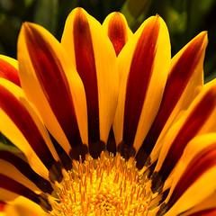 Like to touch the sun (LadyStorta) Tags: macrophotography flowers nature motherearth natura fiori petali madrenatura closeup petals yellow