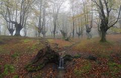 Un hilo de vida (explore) (Rafael Díez) Tags: españa vizcaya paisvasco orozko belaustegui hayedo arboles otoño niebla fog filtro rafaeldíez paisaje panorámica agua rio hojas verde
