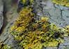 Lichen (Engin Süzen) Tags: olympus olympusem1markii olympusomdem1markii lichen macro macrophotopraphy nature m43 m43turkiye