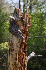 Stumped II (Alcona1) Tags: tree nature rotted wood bark dead