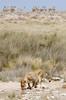 Refuel (C McCann) Tags: lion lioness cat animal wild safari wildlife namibia etosha nationalpark predator