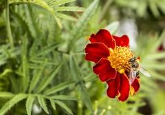 MAYA (VirgilioTF) Tags: abeja tenerife canon canon750d canaryislands canoneos canoneos750d curso macro macrofotografia tecnica jardín