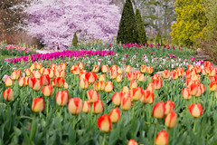 spring time (fictivehobby) Tags: cherryblossoms longwood gardens tulips blooming season spring