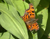 My first butterfly of 2018 (Tony Worrall) Tags: britain english british gb capture buy stock sell sale outside outdoors caught photo shoot shot picture captured nature wildlife wild outdoor beauty nice lovely natural life summer seasonal scarborough england regional region area northern uk update place location north visit county attraction open stream tour country welovethenorth butterfly insect green plant sunbathe first new wings small