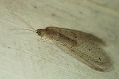 Spilosmylus sp. (GeeC) Tags: animalia arthropoda cambodia insecta kohkongprovince nature neuroptera osmylidae spilosmylus tatai