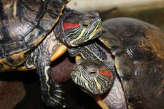 hello everyone  Greetings  from my  turtles friends (excellentzebu1050) Tags: turtle farm animal closeup coth5