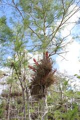 Everglades National Park, Florida (lotosleo) Tags: evergladesnationalpark florida fl nationalpark everglades swamp marsh nature plant spring landscape tree reflection эверглейдс флорида bromeliads mangroveforest airplants tillandsia
