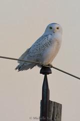 Snowy Owl (Michelle w.h. Xu) Tags: snowyowl winter sunset snow wol