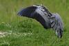 Grey Heron (geraintparry) Tags: south wales southwales nature geraint parry geraintparry wildlife cardiff forestfarm forest farm sigma sigma150600 150600 150600mm animal animals grey heron herons greyheron greyherons bird birds predator predators