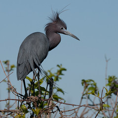 Millers Lake-0862 (MSMcCarthy Photography) Tags: msmccarthyphotography nikon nikond300s nikon200to500 bird birds rookery louisiana southlouisiana swamp heron littleblueheron
