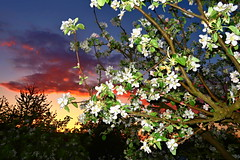 Evening in the garden... (ZdenHer) Tags: evening garden sunset tree apple blossoms
