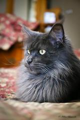 IMG_0822-1 (Helene Bassaraba) Tags: mainecoon bleufumé smokeblue coth5 bestofcats