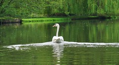 canoe day (Bushcraft.Eure) Tags: canoeday oldtown canoe canoeing riviere river eure normandie valleedeleure paddle clouds sky bateau arbre ciel eau pelouse rivière swan cygne wildlife green