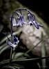 N0920 (cleigh01) Tags: bluebell flower blue woodland petals spring macro bells