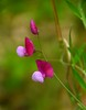 Piselli odorosi selvatici (giorgiorodano46) Tags: beyondbokeh aprile2018 april 2018 giorgiorodano nikon flowers wildflowers fioridicampo piselliodorosi bagnaia lazio italy