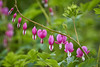 watery hearts (blattboldt) Tags: nature flower tränendeherzen green purple ilce7rm3 crop wateryhearts pink loxia85mmf24sonnart zeiss loxia2485 sonyflickrawards