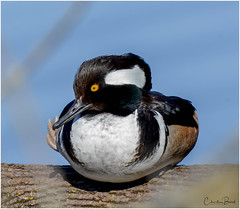 Hooded Merganser - male (Summerside90) Tags: birds birdwatcher hoodedmergansermale april spring nature wildlife ontario canada
