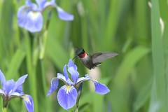 Male Ruby Throated Hummingbird (adirondack_native) Tags: flower lily blue white purple red throated hummingbird flying