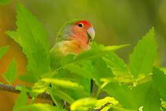 D71_8196 (joezhou2003) Tags: peachfaced lovebird bird birdwatching animal wildlife nikon d7100 tamron 90mm micro vc