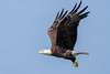 Bald Eagle Flying (Simon Stobart (Catching Up and Editing)) Tags: bald eagle flying haliaeetus leucocephalus usa florida naturethroughthelens coth5