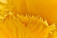 Macro Mondays Jagged (rondoudou87) Tags: macromondays macro jagged pentax k1 nature natur color couleur closer close jardin jaune yellow bokeh smcpentaxdfa100mmf28macrowr