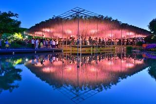 Great Wisteria Festival, Ashikaga Flower Park , Japan 足利花卉公園