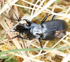 Pterostichus niger carabidae (BSCG (Badenoch and Strathspey Conservation Group)) Tags: acm insect beetle col coleoptera carabidae