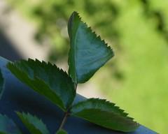 MM wk19: Rose Leaf (m_artijn) Tags: macromondays jagged edge rose leaf shrub sun balcony