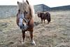 80's hairstyles (conall..) Tags: horse minature shetland pony