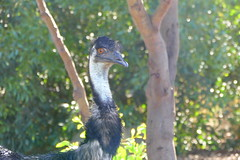 I'm watching you! (The Pocket Rocket, On and Off.) Tags: emu dromaiusnovaehollandiae werribeeopenrangezoo victoria australia famousflickrfiveouting smileonsaturday catchthebokeh