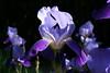 Iris macedonica (Wolfgang Bazer) Tags: iris macedonica schwertlilie schwertlilien botanischer garten wien vienna österreich austria flowers blumen