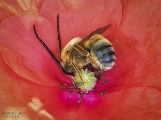 El descanso de la abeja.