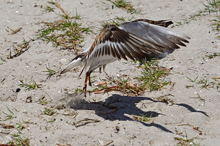 Ruddy Turnstone missing the right foot