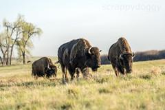 Bison (scrappydoggy) Tags: bison colorado co animal critter rockymountains denver commercecity rockymountainarsenal arsenal landscape wildlife buffalo