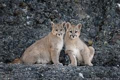 Puma. Cougar. Puma concolor (Daniel Sziklai G.) Tags: estancia goic pumas torresdelpaine puma cachorro puppy patagonia chile