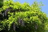 Wisteria Cascade #3 (Keith Michael NYC (4 Million+ Views)) Tags: wisteria conservatorygarden centralpark manhattan newyorkcity newyork ny nyc