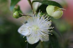 Brautmyrte - Myrtle (ivlys) Tags: darmstadt minigarden garten blume flower blüte blossom pflanze plant brautmyrte myrtuscommunis myrtle natur nature makro macro ivlys