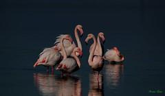 Fenicottero - Flamingo  (Phoenicopterus roseus) (Michele Fadda & Giulia) Tags: canoneos70d sigma150600mmf563dgoshsmsport sardinia sardegna italy fenicottero flamingo phoenicopterusroseus free faunaprotetta avifauna nature natura photoscape iful